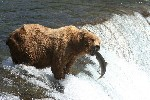 Brooks in Katmai National Park and King Salmon