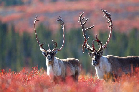Caribou Migration Spring and Fall: Arctic Haven Wilderness Lodge