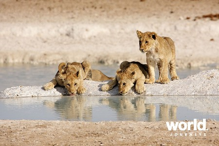 Lion cubs at Etosha