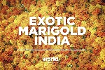 Exotic Marigold India