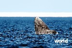 Kings of the Arctic: Polar Bears Bowhead Whales & Walrus