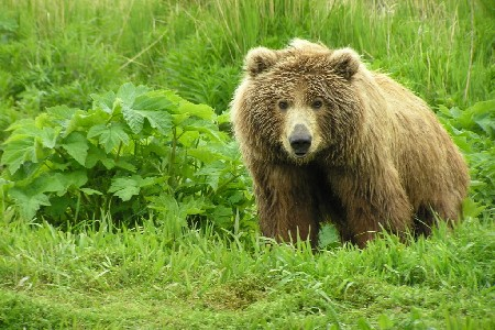 Kodiak Brown Bear Centre