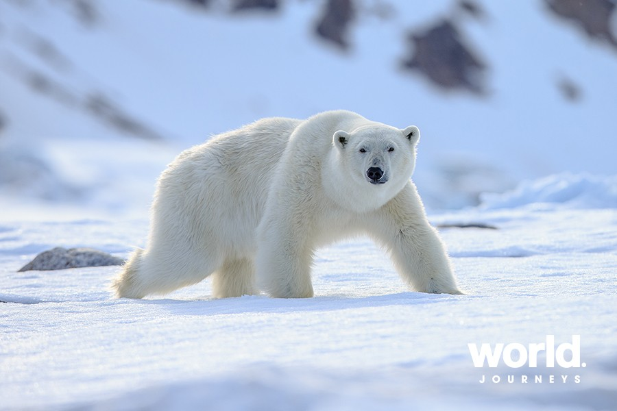 Polar Bears and Whales of Cumberland Sound