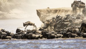 Wildebeest of the Great Migration, Tanzania