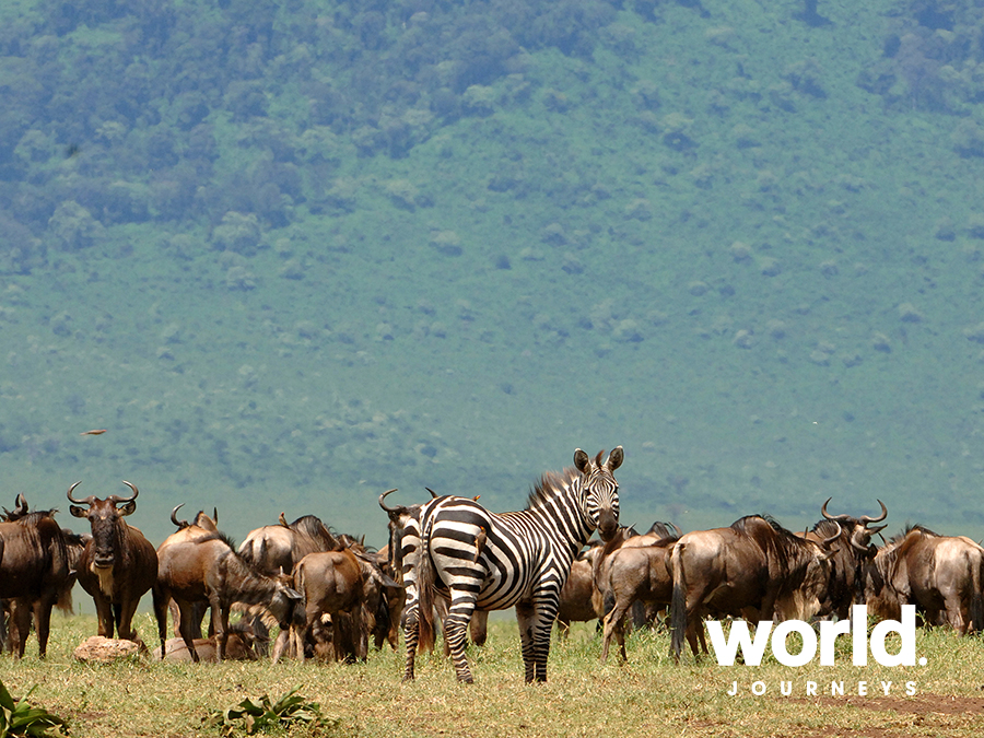 Wildebeest, Zebra, The Great Migration, East Africa