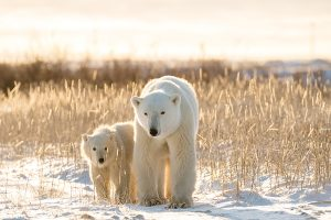 Polar Bears, Arctic
