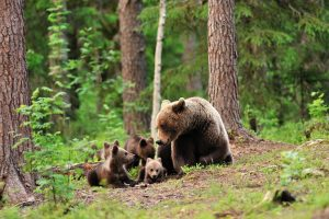 Mother and Cubs, BC
