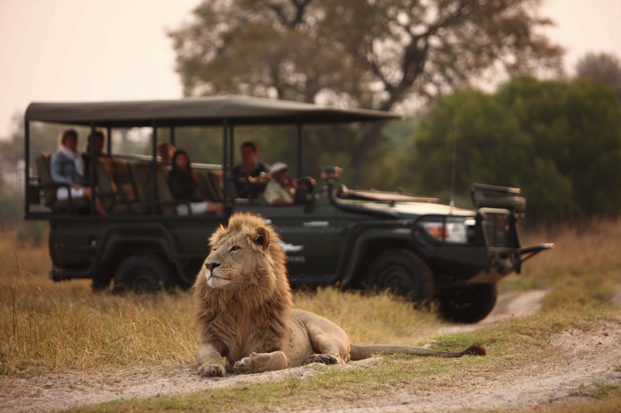 African Lion on Game Drive
