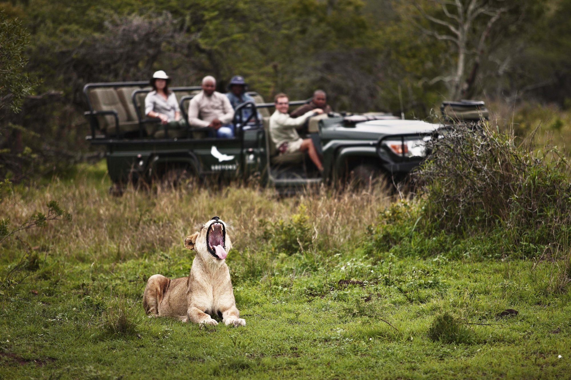 Lion at Phinda Private Game Reserve Africa