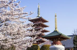 Japanese pagoda, Cherry Blossoms